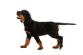 Young Gordon Setter Puppy On White Background Stock Images - 39155684