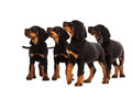Young Gordon Setter Puppy On White Background Royalty Free Stock Photo - 39158775