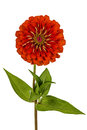 Red Flower Of Zinnia (Lat. Zinnia) Stock Photography - 39173282