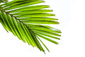 Leaves Of Palm Tree Isolated On White Background Royalty Free Stock Photography - 39189277