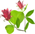 Two Red Flower In Green Leaves Isolated On White Stock Images - 39189414