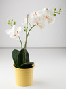 Artificial Orchid Flower In Yellow Pot Stock Photo - 39223550