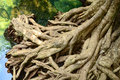 Mangrove Root Stock Images - 39227884