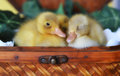 Three Ducklings In A Basket Stock Images - 39236434