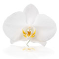 White Orchid Stock Image - 39241681