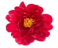 Single Flower Head Of Red Peony Isolated On White Stock Photography - 39263022