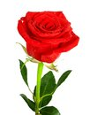 Red Rose With Green Leaves And Water Drops Royalty Free Stock Photography - 39270377