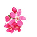 Red Apple Blossom , Isolated On White Stock Image - 39282711