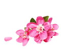 Red Apple Blossom, Isolated On White Royalty Free Stock Images - 39293249