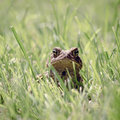 Toad In Grass Stock Photo - 39309970