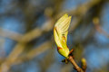 New Leaves. Royalty Free Stock Images - 39310289