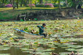 A Man Is Clearing Weeds From A Great Lotus Pond Stock Photos - 39317103