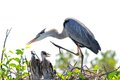 Great Blue Heron With Two Chicks In Nest Stock Photo - 39337010