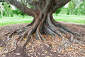 Big Tree Roots Royalty Free Stock Photo - 39345025