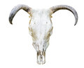 Cow Skull Stock Photography - 39347162