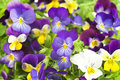 Pansy Royalty Free Stock Image - 39384536