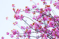 Close Up Of Blooming Double Cherry Blossom And Blue Sky Stock Images - 39388604