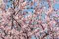 Apple Tree Pink Flowers Spring Blossom Stock Images - 39390514