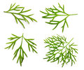 Fresh Green Dill Isolated Stock Photography - 39391322