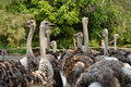 Ostriches Farm Stock Photography - 39396802