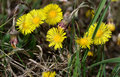 Basel - Lange Erle, Coltsfoot / Huflattich Royalty Free Stock Photography - 39414747
