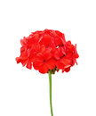 Geranium Red Stock Image - 39420851