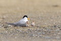 Little Tern Family Stock Photography - 39431832