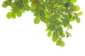 Green Leaves And Branches Royalty Free Stock Photo - 39450315