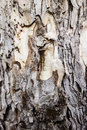 Pine Bark Royalty Free Stock Photography - 39452697