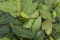 Aromatic Bay Leaves Royalty Free Stock Photography - 39461227