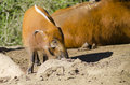 Red River Hog Royalty Free Stock Images - 39465869