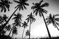 Black And White Photo Of Palm Trees Royalty Free Stock Photo - 39472315