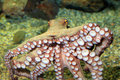Common Octopus Stock Images - 39489084