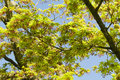 Maple Tree New Leaves And Flower Buds Stock Photo - 39489460