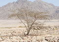 Acacia Tree Growing In A Rocky Desert Stock Photo - 39523040