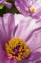 Peony Flower Details Stock Photo - 39524820