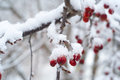 Red Berries In The Snow Royalty Free Stock Images - 39525349