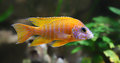 Close-up View Of A Peacock Cichlid (Aulonocara Sp.) Royalty Free Stock Image - 39528486