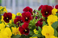 Red And Yellow Flowers Royalty Free Stock Photo - 39535615