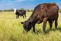 Cow And Calf Stock Photography - 39541462