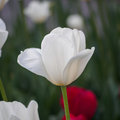 Spring Flowers Series, Single White Tulip In Field Royalty Free Stock Photo - 39546095