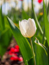 Spring Flowers Series, White Tulip Among Red Tulips In Field Stock Photography - 39554712