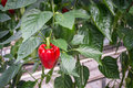 Red Pepper Ripening On The Plant Stock Photography - 39556332