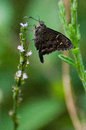 Long Tailed Skipper Royalty Free Stock Images - 39569109