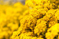 Yellow Flowers Stock Photography - 39580712