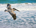 Flying Pelican Royalty Free Stock Image - 3961866