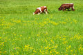 Grazing Cows Royalty Free Stock Image - 3965546