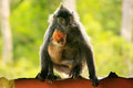Silvered Leaf Monkey With A Young Baby, Borneo, Malaysia Stock Photography - 39611232