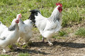 Rooster And Hens Royalty Free Stock Photo - 39633375
