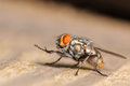 Common House Fly Stock Images - 39668754